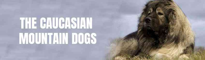 The Caucasian Mountain Dogs